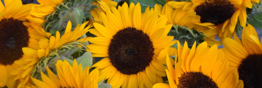 cropped-sunflowers-wide-1.png
